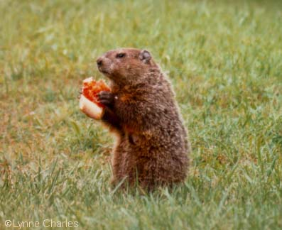 groundhog_pizza