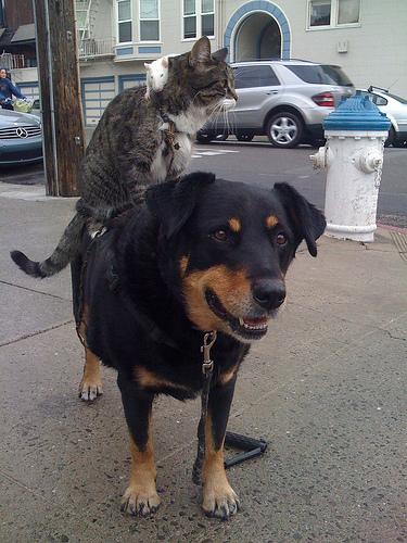 dog rat cat