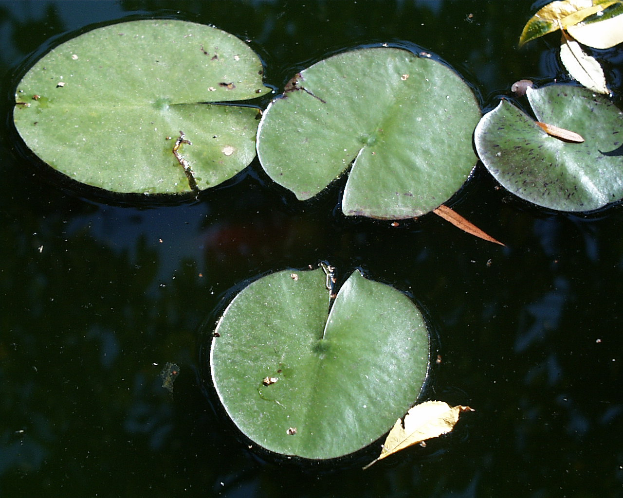 images of a lilly pad